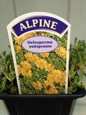 Dianthus /'Inshriach Dazzler' Alpine//Rockery Garden Plant in 7cm Pot