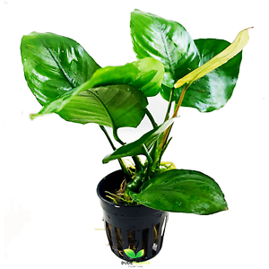 Anubias-Barteri-Broad-Leaf-Potted-B2G1-Freshwater-Live-Aquarium-Plant-Decoration