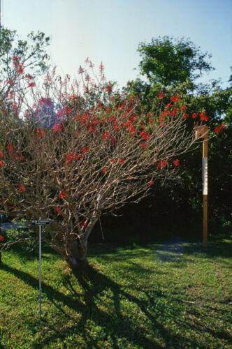 Coral Bean   Erythrina herbacea  Organic   10 Fresh Seeds Free Shipping