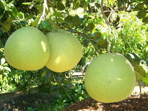 Pomelo 10 Seeds Fruits Seeds Citrus maxima From Thailand Pomelo Grapefruit