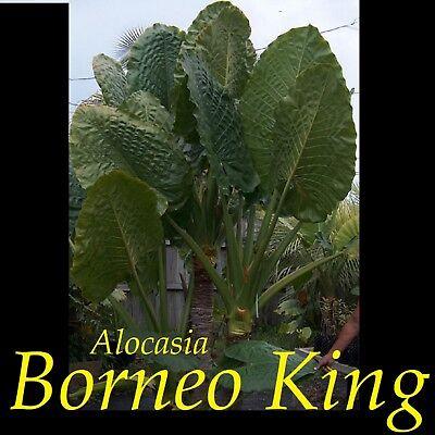 ELEPHANT EAR small potted Plant ~BORNEO KING~ TARO Alocasia macrorrhiza HUGE!