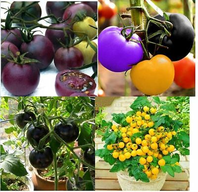 Tomaten Samen,Regenbogen-Lila-Schwarz-Weiß-Cherrytomaten,Neu,selten,rar,Saatgut