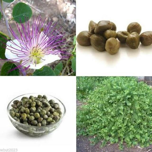 50 Caper Bush Seeds (Capparis spinosa) Use as Medical & Culinary Herb-Perennial