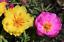 1000//3000 Graines Pourpier Grande Double Fleur Varié Portulaca Plante Succulente