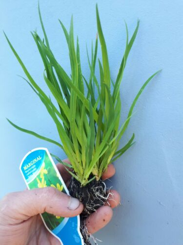 3 x Dwarf Yellow Iris Sisyrinchium Pond Marginal Bog Plant