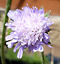 Field-Scabious-matured-2-3-years-in-large-pot-Pick-up-only-Cardiff thumbnail 2