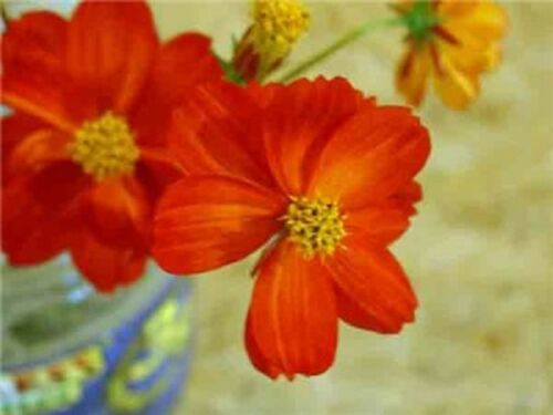 1 G ~ circa 140 semi di fiori COSMO-SULPHUREUS Redcrest