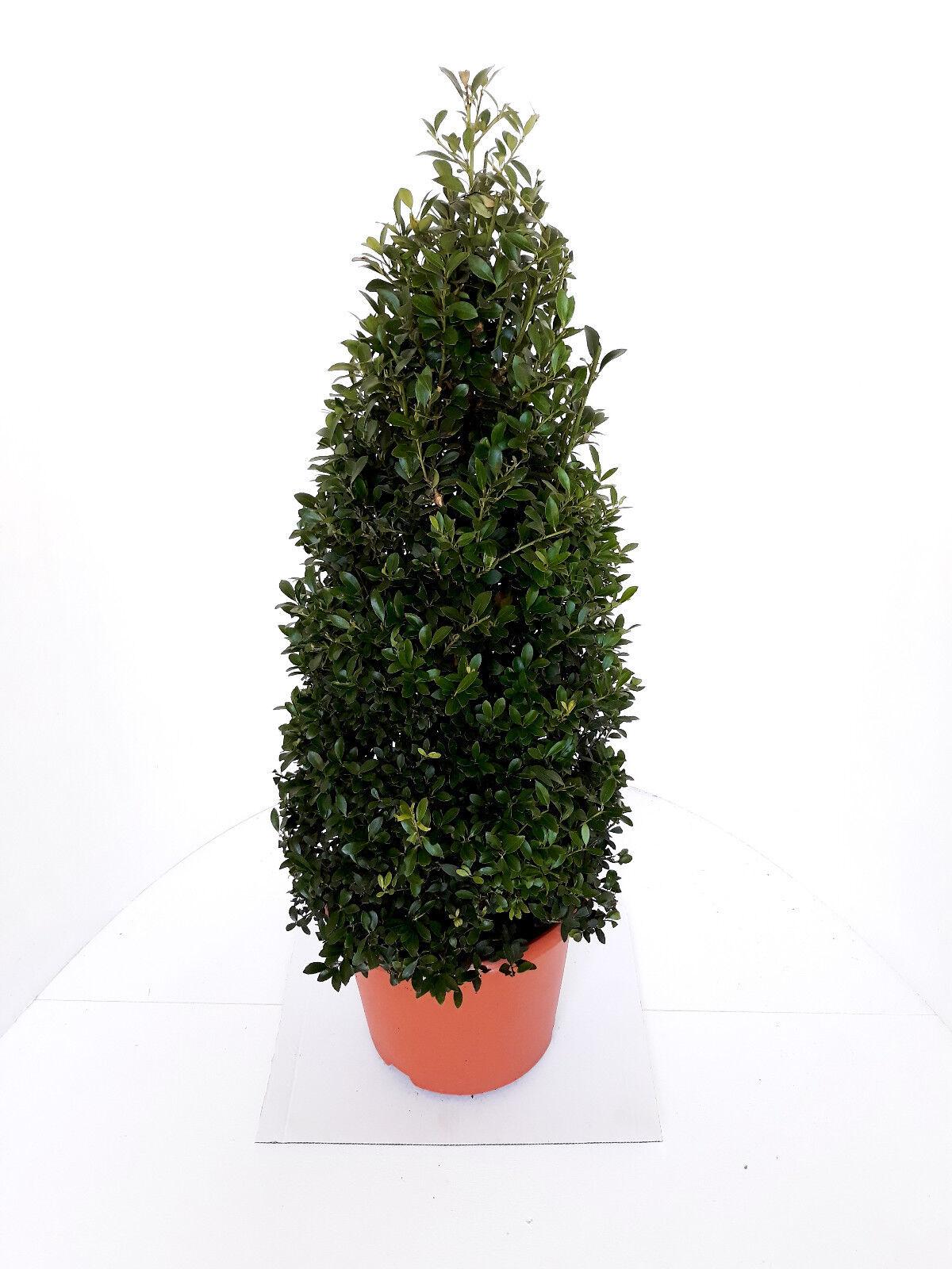 2 x Ilex crenata Stokes, Kegel, Höhe  70-80 cm, Alternative Buchsbaum + Dünger