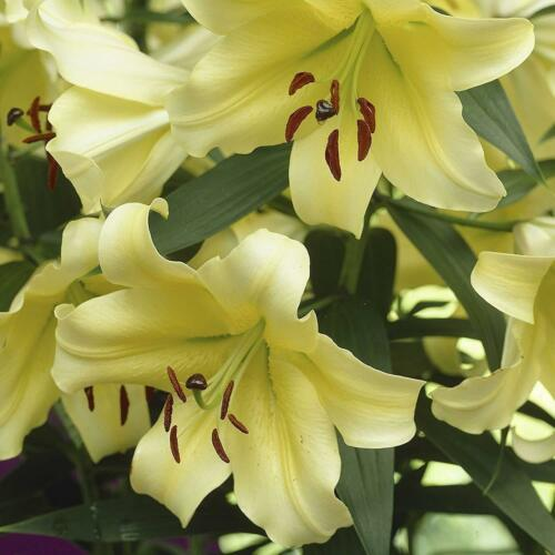 Skyscraper Lilium Stargazer Oriental Perennial Resistant Bonsai Incredible Gift