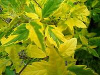1 Caryopteris clandonensis Summer Sorbet -S-,Bartblume,duftend,60 cm,Container