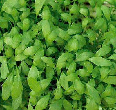 Kresse Großblättrige Gartenkresse 50 g Züchtersaat Samen