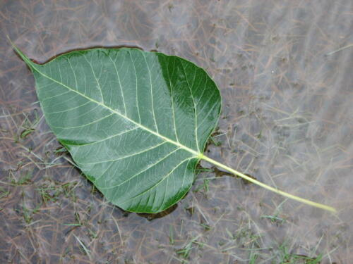 INDIAN PEEPAL LEAVES 30 CT FRESH PICKED BY ORDER BANYAN TREE LEAF PUJA POOJA