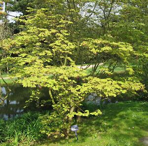 Arce Japonés 'aconitifolium' Arce JAPONICUM OLLA CULTIVADO aprox. 60cm