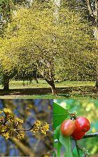 CORNUS MAS 10 semi seeds Corniolo Cornelian cherry European cornel
