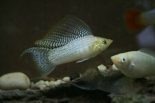 """x10 SILVER LYRETAIL MOLLY SM/MD 1"""" - 2""""  - FRESHWATER FISH FREE SHIPPING"""