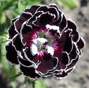 30+ Black/White Velvet Lace Carnation Flower Seeds ...