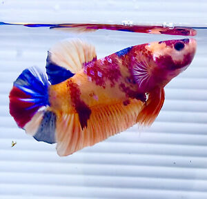 "US SELLER (AAA-Grade) Male Candy Giant 3"" Betta imported from Thailand"