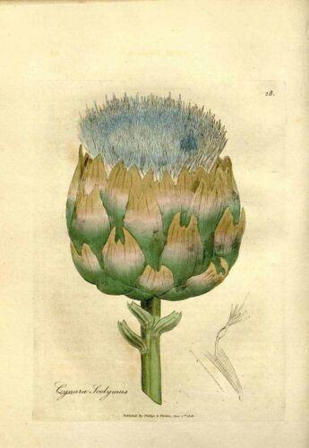 100 Graines non traitées d/' ARTICHAUT Violet de Provence barigoule farigoule