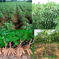 Shopvise Bonsai Seeds Tapioca Cassava Mani Dulcis