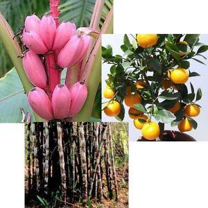 Drei-tolle-EXOTISCHE-PFLANZEN-fuer-drinnen-Rosa-Banane-Orangenbaum-und-Bambus