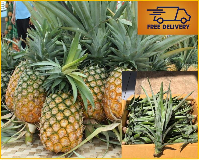 2 Pineapple Plant shoots Ananas comosus Live Edible Organic Tropical Fruit