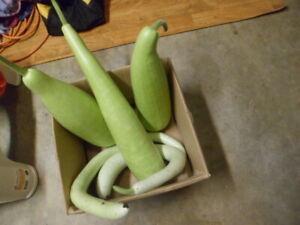 Long Bottle Gourd Light Green Lauki Dudhi Lau Kodu Kodhu