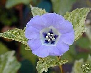 kleines-blaues-Bluemchen-mit-erfrischender-Wirkung