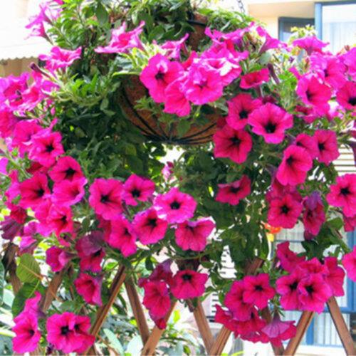 50x Trailing Petunia Seeds Hanging Petunia Hybrida Garden Flowers Home Decor XJ