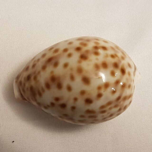 Tiger Cowrie Seashell 73 MM - Cypraea Tigris - light spots - Shell CW8