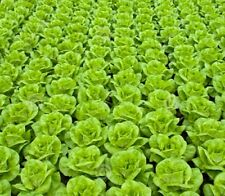 lettuce, 1000 + Seeds  salad. All Year Round &Tortoise Bearded Dragon food seeds