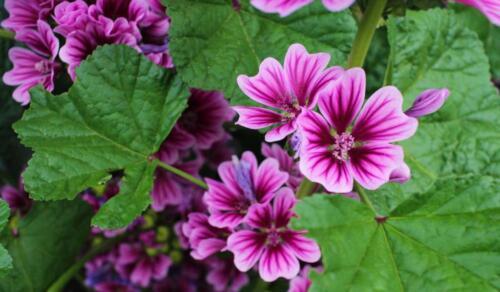 """30 seeds from Ukraine. Malva sylvestris Flower seeds Mallow /""""Forest Beauty/"""""""