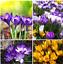 100Pcs-Saffron-Flower-Seeds-Rare-3-Kind-Field-Fragrant-Beautiful-Perennial-Plant thumbnail 1