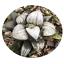Haworthia-Succulent-plants-potted-Plants-Home-Garden-Bonsai-Garden-Decor thumbnail 5