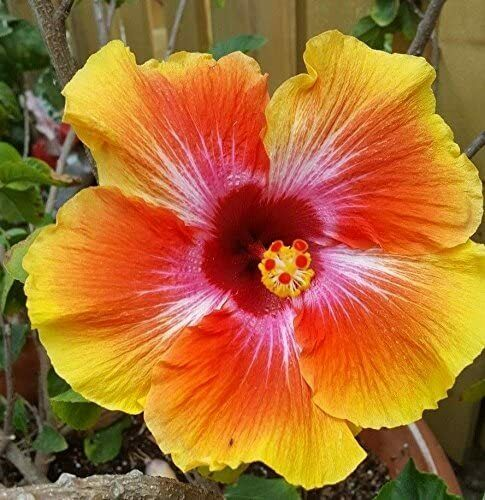 8 Hibiscus Yellow Orange Seeds