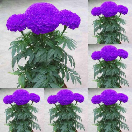 100PCS PURPLE MARIGOLD SEEDS POTTED PLANT FLOWER HOME GARDEN DECORATION NICE