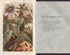 Chromo-Lithografie 1894: AUSLÄNDISCHE ZIKADEN. Zikade Zirpe Wanze Insekten