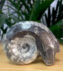 Ammonite-Fossil-Specimen-Polished-Fossilized-Goniatite-Display-Mollusks-Morocco