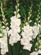 5 Gladiolus White Color Flower Bulb Perennial Summer Blooming Plant
