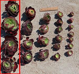 Succulent-Aeonium-Velour-100-140-mm-cuttings-Drought-tolerant-plant-20-cuttings