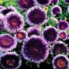 20+ Blue Moon Aster / Annual Flower Seeds