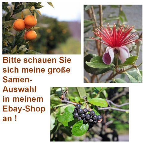 ARONIA Exot Pflanzen Samen Saatgut exotische Zimmerpflanze MANDARINE ANANAS