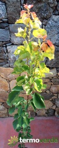 Pianta di albicocche Albero albicocco Reale d/'Imola