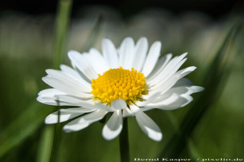 1000 Samen Gänseblümchen Bellis perennis Saatgut 001387 Tausendschön