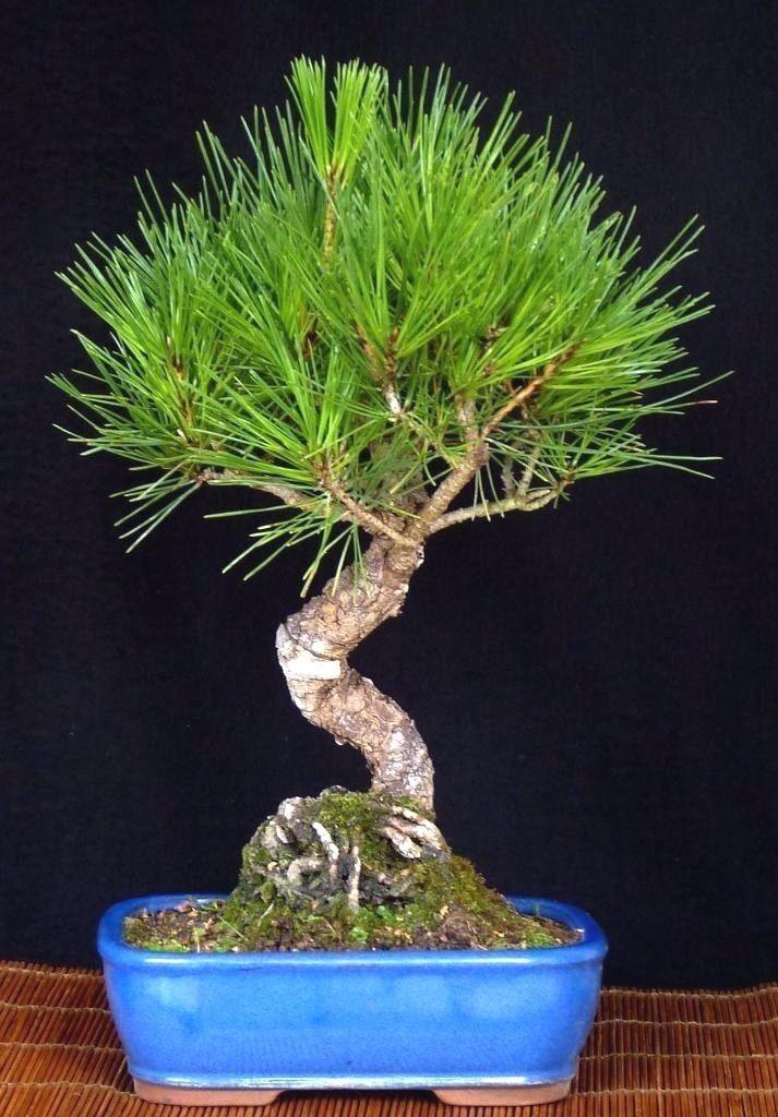 Bonsai - Pinus thunbergi - japanische Schwarzkiefer - japanese schwarz pine