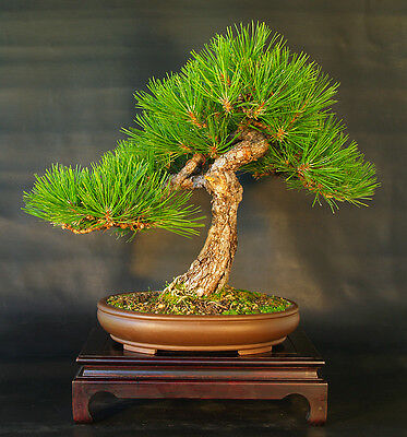 AUSTRIAN PINE - Pinus nigra - 30 SEEDS - Good for bonsai