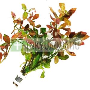 Ludwigia-Repens-Ovalis-Red-Bunch-Live-Aquarium-Plant-Freshwater-Decorations-Stem
