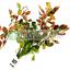 Ludwigia-Repens-Ovalis-Red-Bunch-Live-Aquarium-Plant-Freshwater-Decorations-Stem thumbnail 1