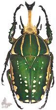 Chelorrhina polyphemus confluens 55+mm,UNMOUNTED beetle