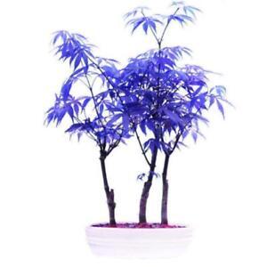 10 Stk Samen Pflanzen Ahorn Topf Blau Seltene Bonsai Schöne Baum ...