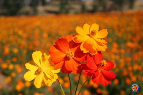 Details about  /Cosmos Flower 200 SEEDS Sulphur Klondike Bright Lights Attracts Bees Buttetflies